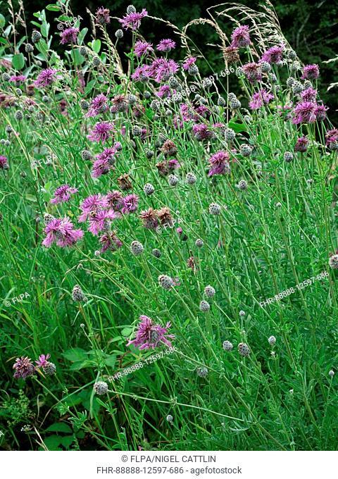 Greater knapweed, Centaurea scabiosa, flowering plants on chalk downland