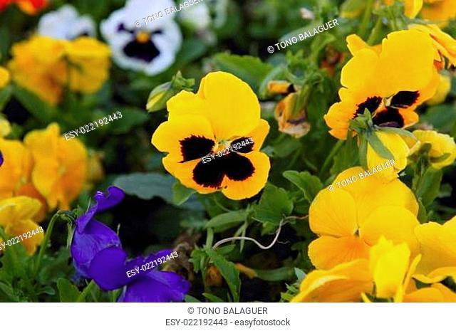 Beautiful Viola x Wittrokiana pansy flowers garden