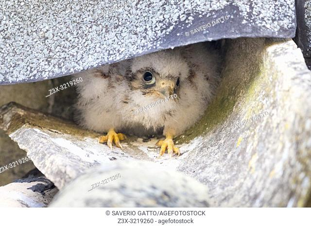 Lesser Kestrel (Falco naumanni), chick at the entrance of the nest in a roof in Matera