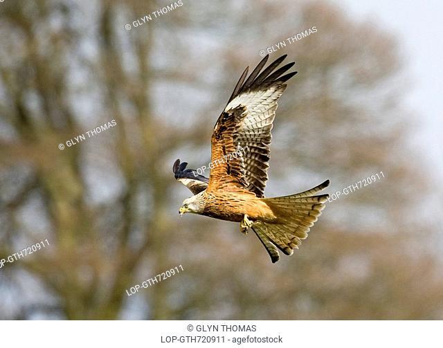 Wales, Powys, Rhayader, A Red Kite milvus milvus in flight