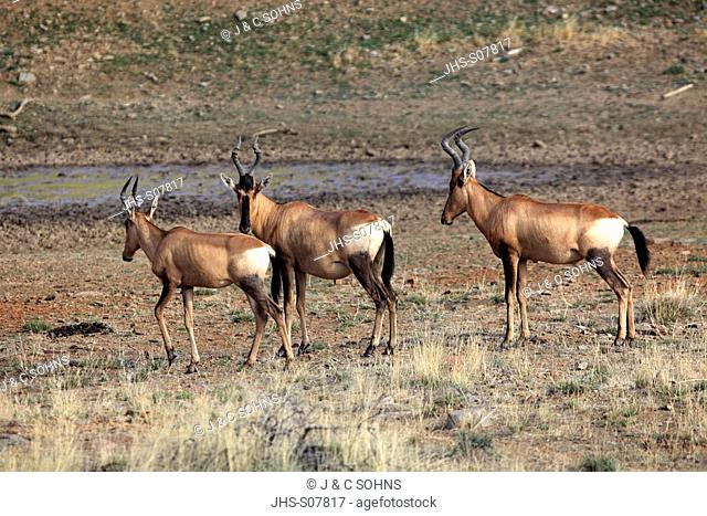 Red Hartebeest, Alcelaphus buselaphus selbornei, Mountain Zebra Nationalpark, South Africa, Africa, group of adults group at waterhole