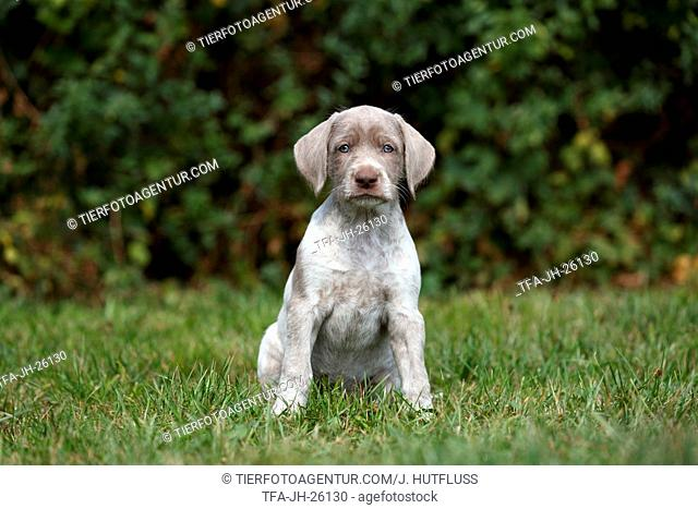 sitting Slovakian Wire-haired Pointing Dog puppy