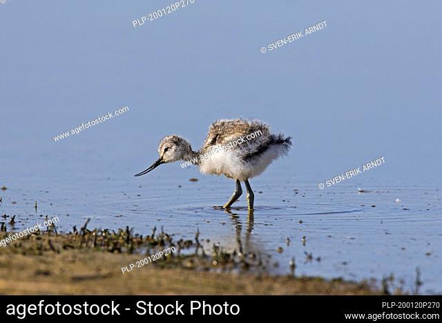 Pied avocet (Recurvirostra avosetta) chick foraging in shallow water