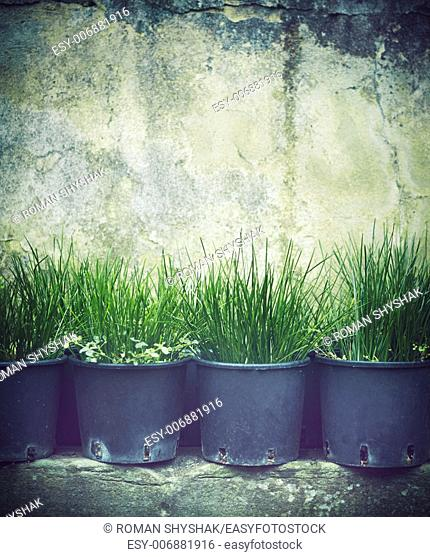 Rows of grass seedlings outdoor