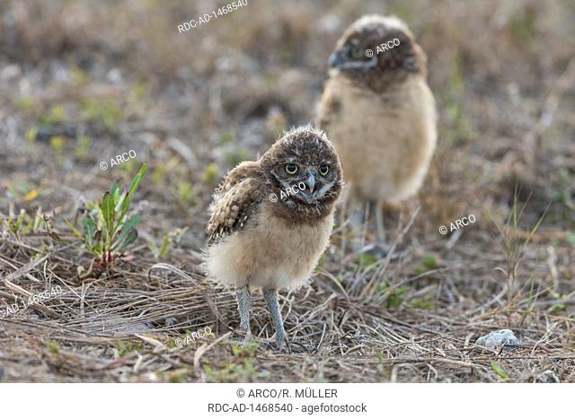 Burrowing owl juv, Florida, Athene cunicularia