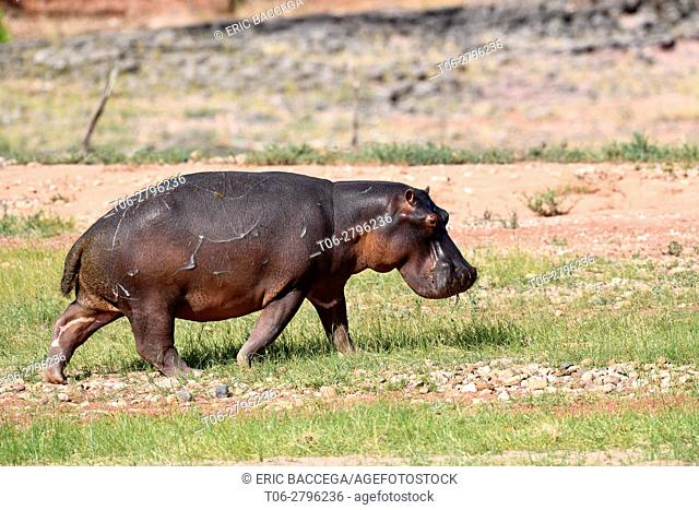 Hippopotamus (Hippopotamus) walking in Matusadona National Park, Zimbabwe