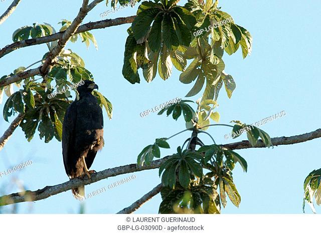 Bird of prey, Hawk-black, Pantanal, Mato Grosso do Sul, Brazil