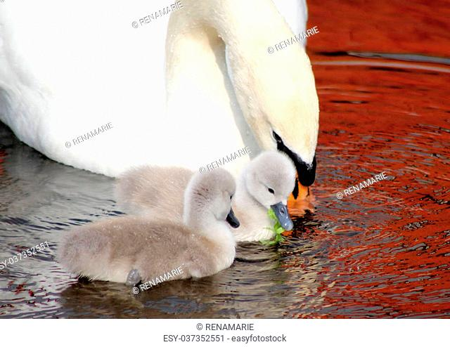 A mother Mute Swan with her two newborn babies