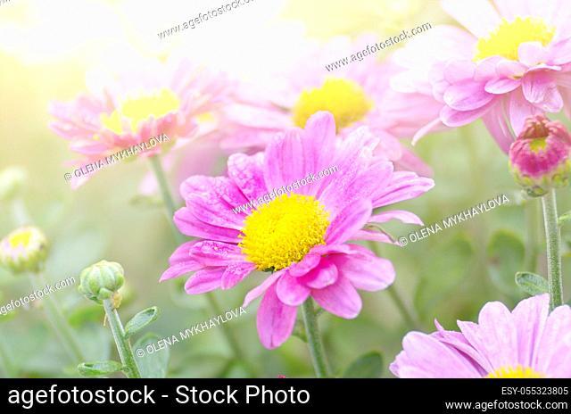 Colorful autumnal chrysanthemum background