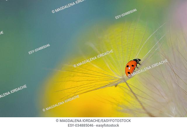 ladybug on dandelion and dew drops