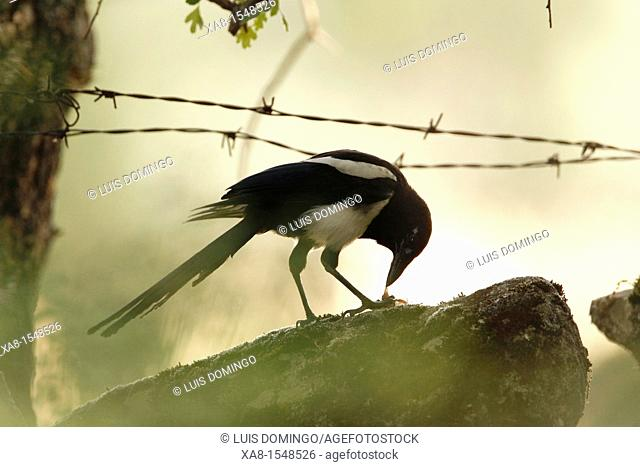 magpie eating carrion
