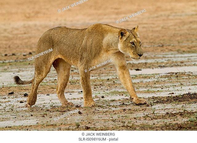 Lioness walking in desert