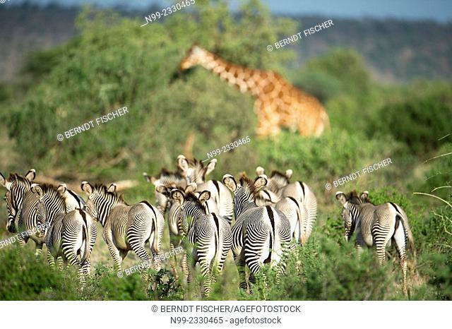 Grevy`s zebras (Equus zebra), herd in front of a giraffe, Samburu National Reserve, Kenya