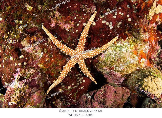 Elegant sea star (Fromia nodosa) Red sea, Sharm El Sheikh, Sinai Peninsula, Egypt