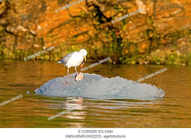 Norway, Spitsbergern, Svalbard, Glaucous Gull (Larus hyperboreus) eating a joung Brunnich's Guillemot (Uria lomvia), summer plumage, sitting on ice floe