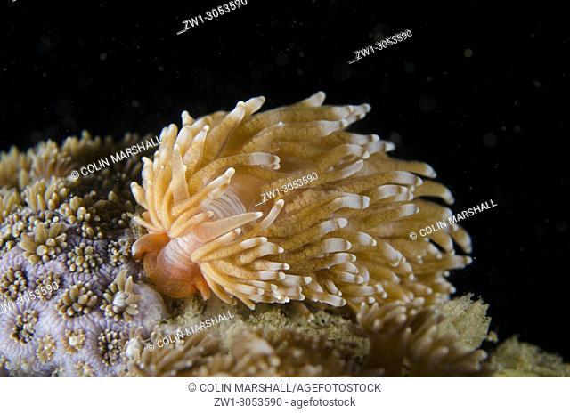 Nudibranch (Phestilla sp. ), Tasi Tolu dive site, Dili, East Timor (Timor Leste)
