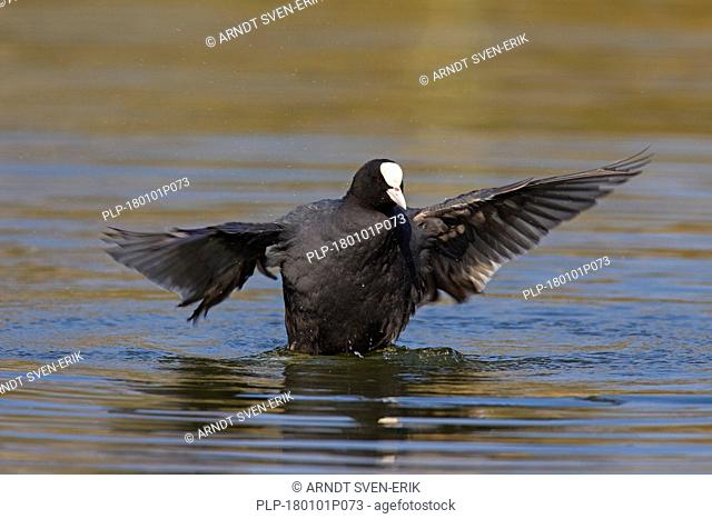 Eurasian coot (Fulica atra) flapping wings in pond