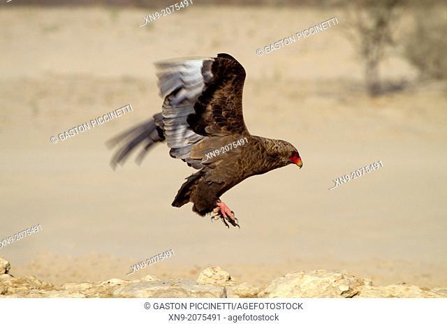 Bateleur (Terathopius ecaudatus) - Young, landing, Kgalagadi Transfrontier Park, Kalahari desert, South Africa