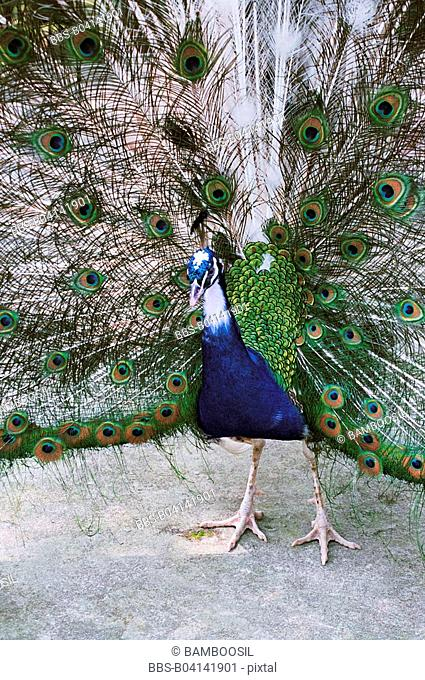 Green peacock in the forest park, Fuzhou City, Fujian Province, People's Republic of China