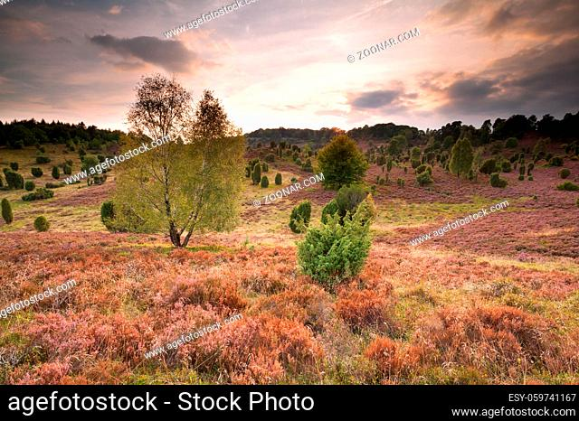 hills covered with flowering heather, Totengrund, Germany