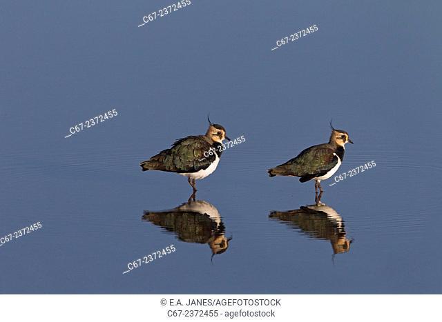 Lapwing Vanellus vanellus Titchwell RSPB Reserve Norfolk