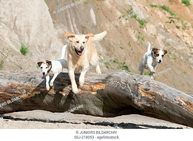 Labrador Retriever and two Parson Russell Terrier jumping over a tree trunk on a beach. Germany