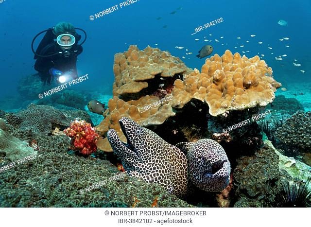 Two Laced Morays (Gymnothorax favagineus) at a coral reef, a diver at the back, Dimaniyat Islands nature reserve, Al Batinah region, Oman