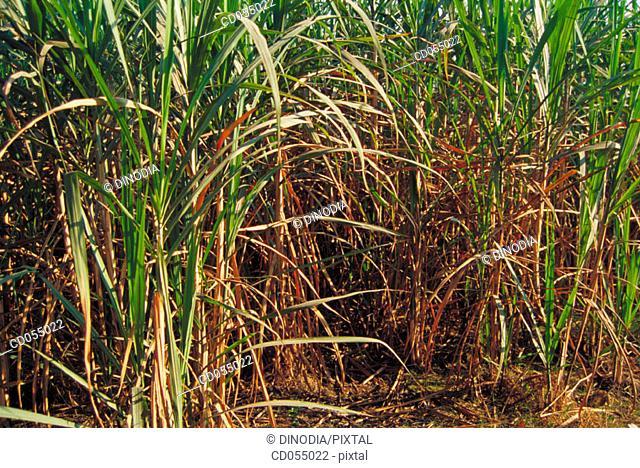 Sugar cane field. Uttar Pradesh. India