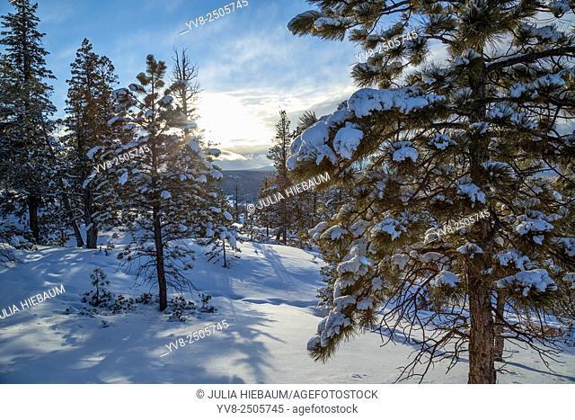 Snow covered trees inside Bryce national park, Utah