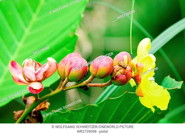 Indonesia, Kalimantan, Borneo, Kotawaringin Barat, Tanjung Puting National Park, close up of buds