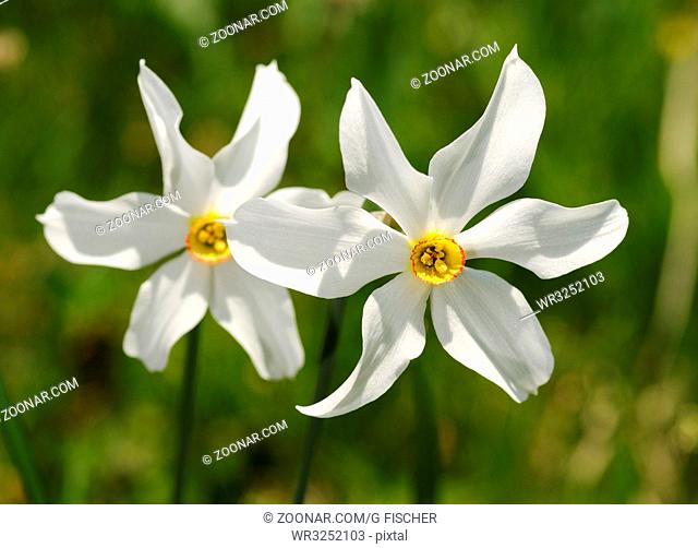 Dichter-Narzisse, Weisse Narzisse, Montreux-Narzisse, Narcissus poeticus / Poet's Daffodil, Narcissus poeticus