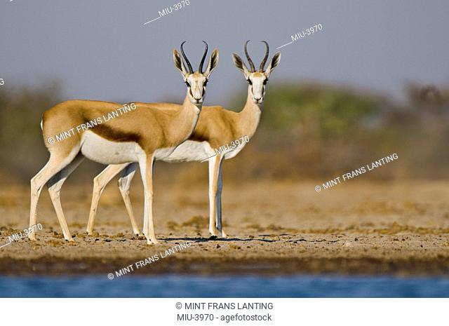 Springbok at waterhole, Antidorcas marsupialis, Etosha National Park, Namibia