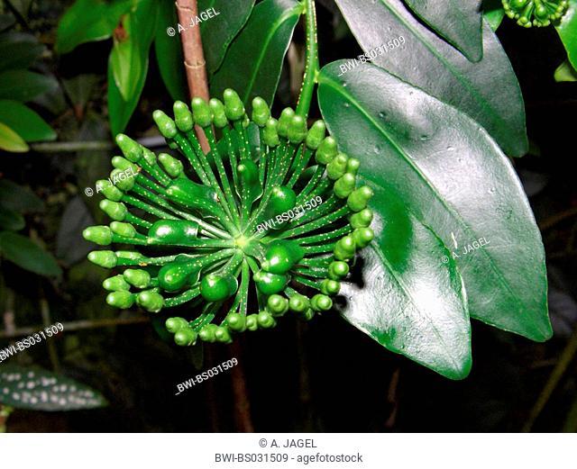 Marcgravia polyantha (Marcgravia polyantha), inflorescence from below