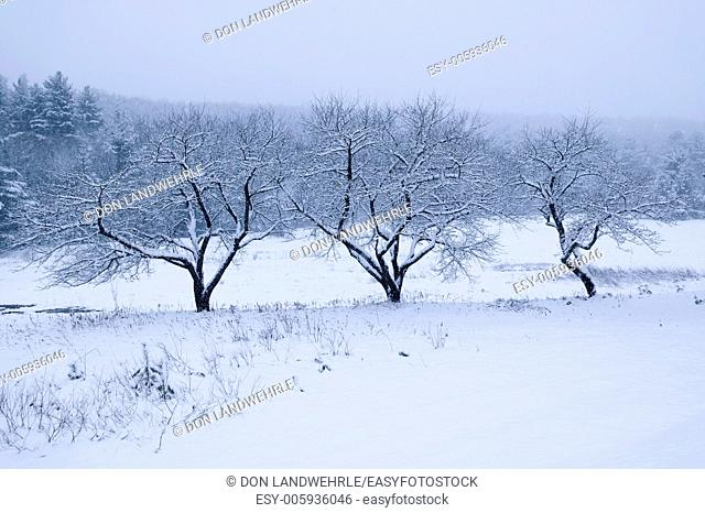 Three snow covered trees, Stowe, Vermont, USA