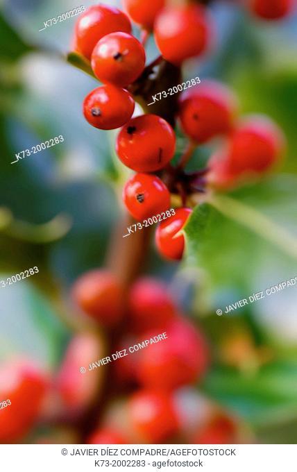 Holly Berries.Iles Aquifolium Sierra Cebollera Natural Park. Villoslada de Cameros. Logroño Province. La Rioja. Spain