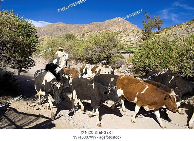 Cattle drive, Altiplano, Chile, South America