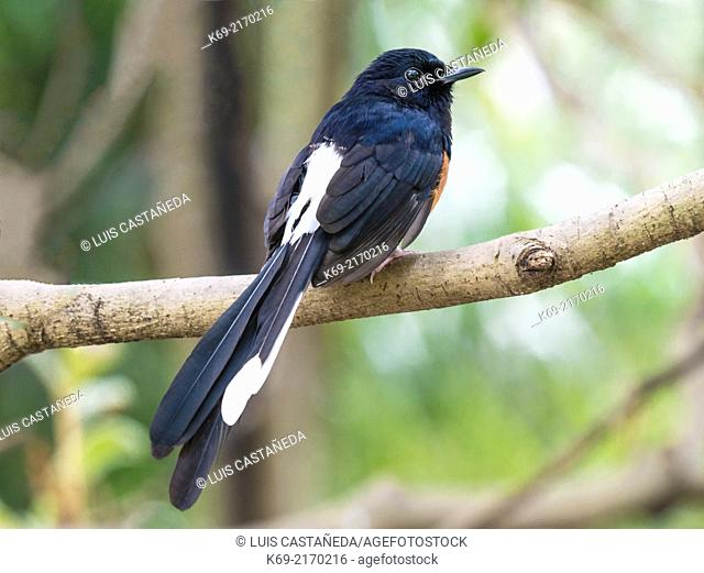 The White-rumped Shama (Copsychus malabaricus) is a small passerine bird of the family Muscicapidae. Native to densely vegetated habitats in the Indian...