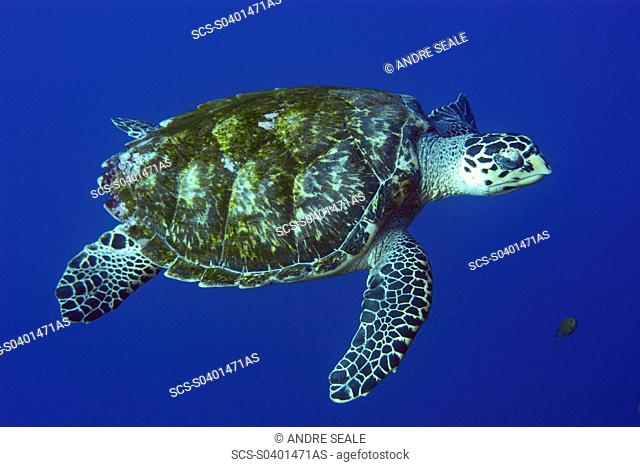 Green sea turtle, Chelonia mydas, in open water, St Peter and St Paul rocks, Brazil, Atlantic rr