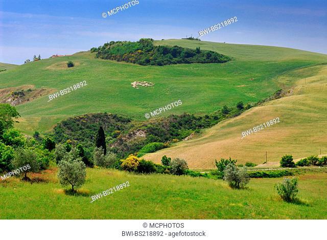 grazing sheep on a hillside, Italy, Tuscany