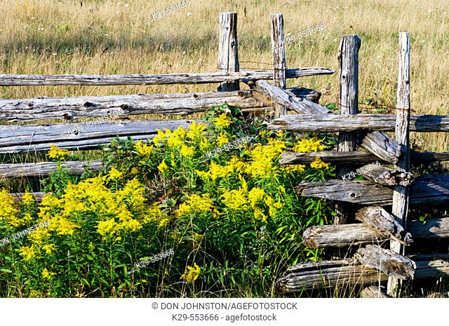 Cedar split-rail fence and goldenrod. Manitoulin Island, Ontario, Canada