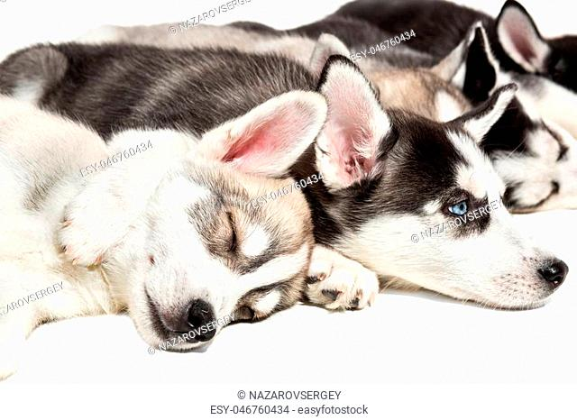 Cute Siberian husky puppies on white background. Puppies are tired and sleeping