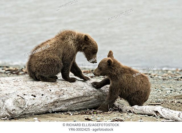 Brown bear spring cubs play on the beach along the Cook Inlet at the McNeil River State Game Sanctuary on the Kenai Peninsula, Alaska