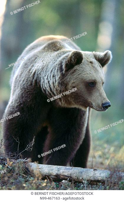 Brown bear (Ursus arctos). Spring. Standing in the pine forest of Carelia near the Russian border. Finland