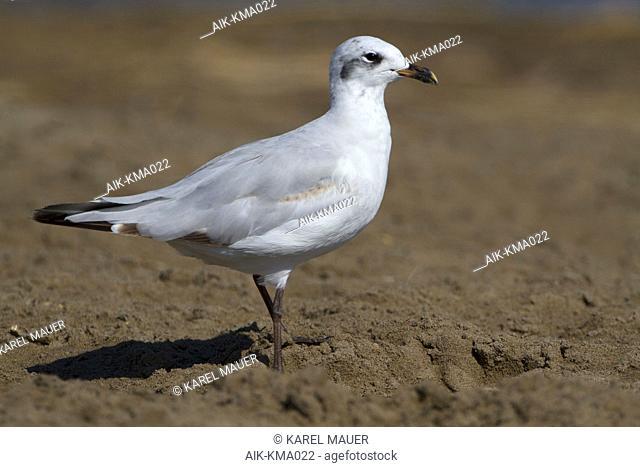 First-summer Mediterranean Gull (Larus melanocephalus) walking on the beach in the Ebro delta in Spain