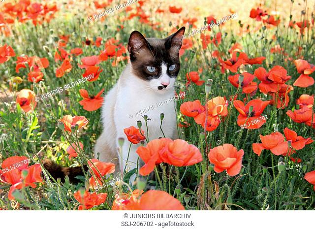 Domestic cat. Adult with a point coloration sitting in a meadow with Poppy flowers. Spain