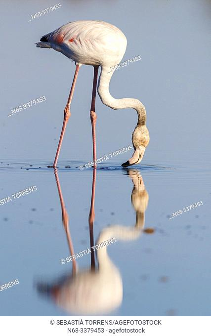 Greater flamingo (Phoenicopterus roseus) and reflection, Ses Salines, Majorca, Spain