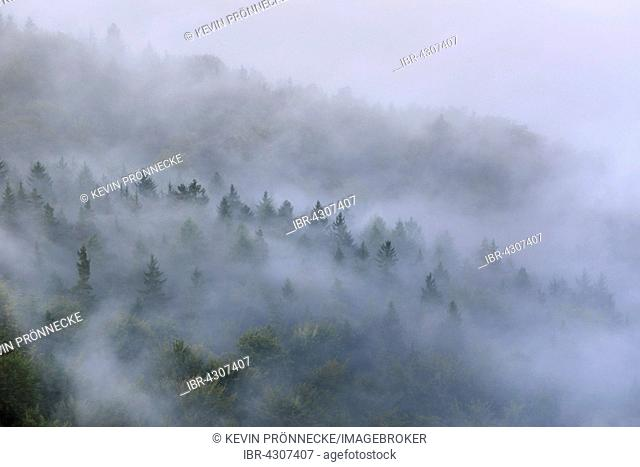 Trees in mist, thick fog, Elbe Valley in the Saxon Switzerland, Saxon Switzerland, Saxony, Germany