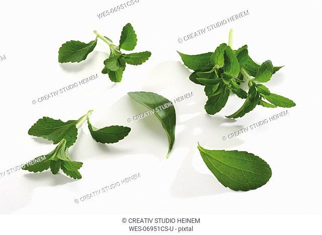 Stevia, close-up