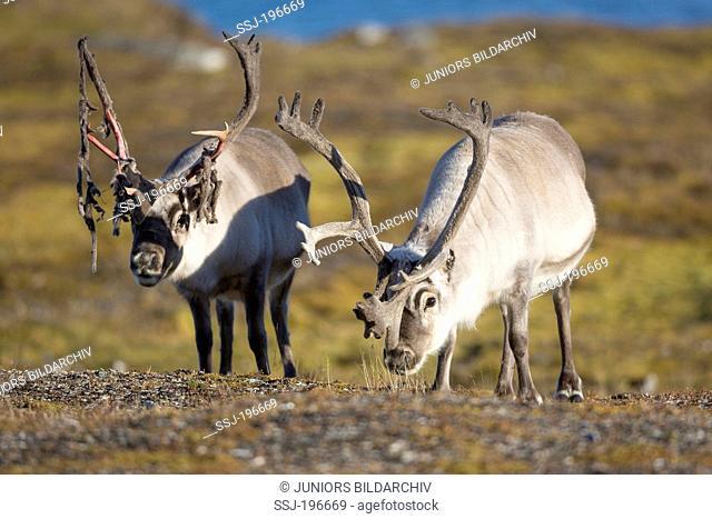 Svalbard Reindeer (Rangifer tarandus platyrhynchus). Two adult males in tundra. Alkhornet, Svalbard