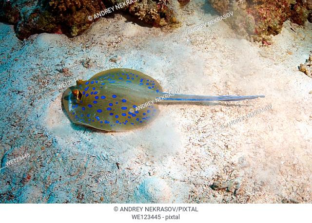 Blue spotted stingray Taeniura lymma, Red Sea, Egypt, Africa